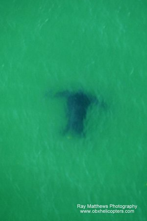 Coastal Helicopters : Sea turtle taken from the helicopter, June 2014.