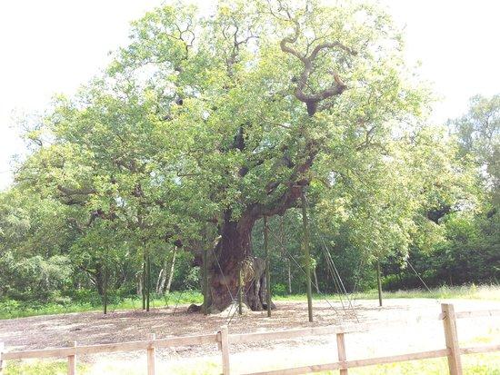 Sherwood Forest: Major Oak