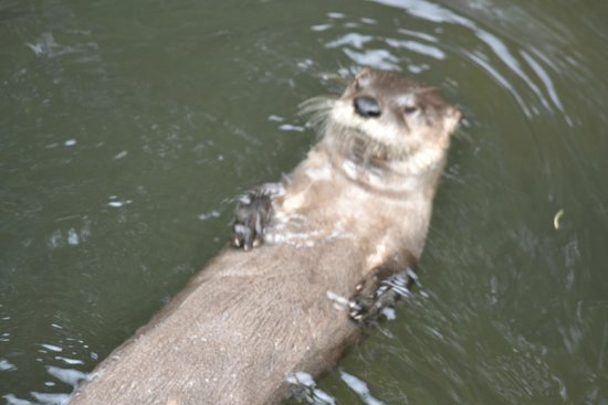 The Scottish SEA LIFE Sanctuary: Otter