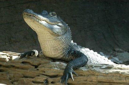 Virginia Living Museum: American Alligator