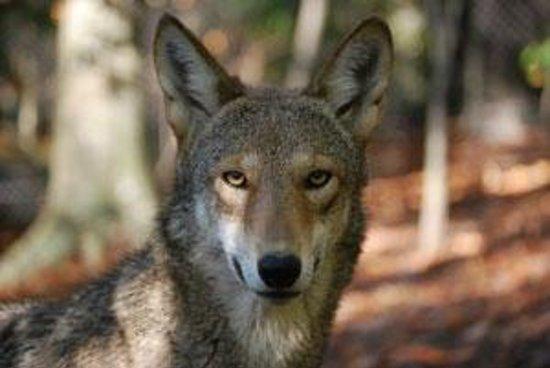 Newport News, VA: Red Wolf
