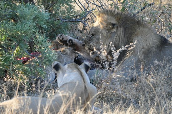 Jaci's Safari Lodge : Bei den Löwen herrscht strikte Hierarchie: Papa isst zuerst, sonst gibt es eins auf die Mütze!