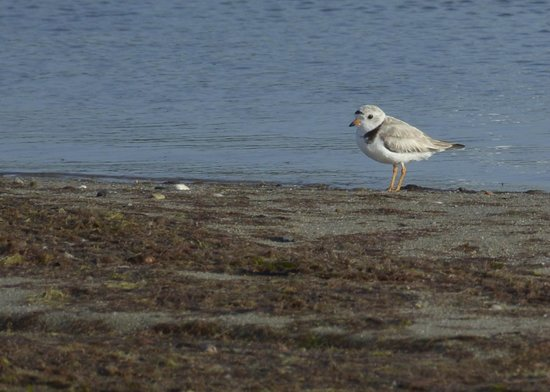 Ridgevale Beach: Piping Plover