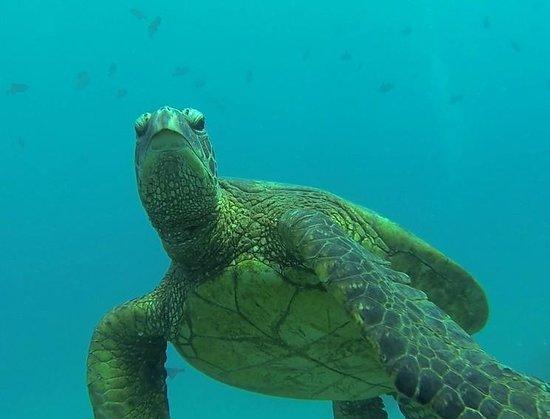 Kaimana Divers: Turtle