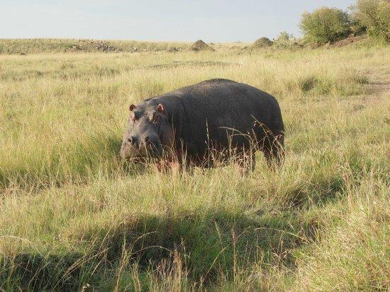 Mara Ngenche Safari Camp: Hippo not looking Happy