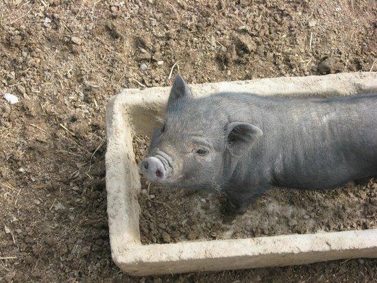 Reserve Africaine de Sigean : kl. Schwein....sehr süß!