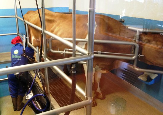 Vogafjos Cowshed-Cafe and Guesthouse: Cows on site, for breakfast drinks