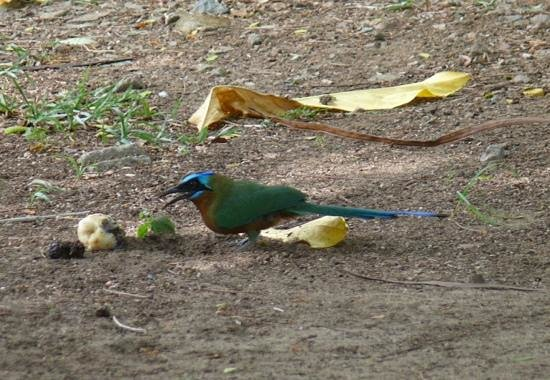 Birdie's Nest: Motmot eating fruit behind the beach