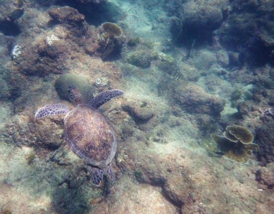 Birdie's Nest: Swimming with turtle at Castara