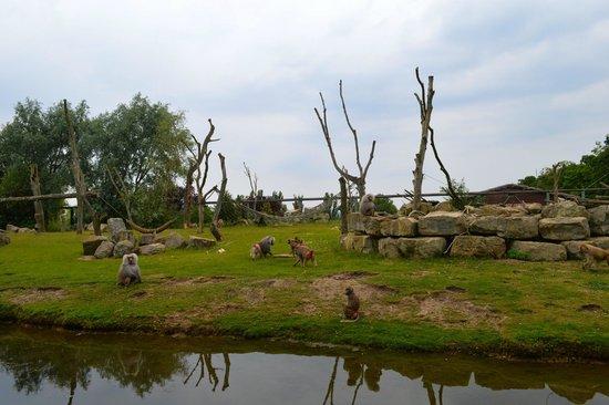 Flamingo Land ltd: baboon island