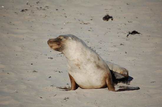 Seal Bay Conservation Park : Seal Bay, Kangaroo Island