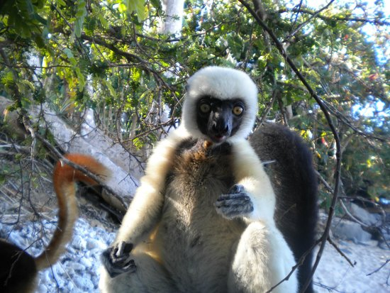 La Merveille: lemure bianco