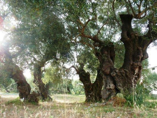 Planos Apart Hotel: Veteran Olive Trees