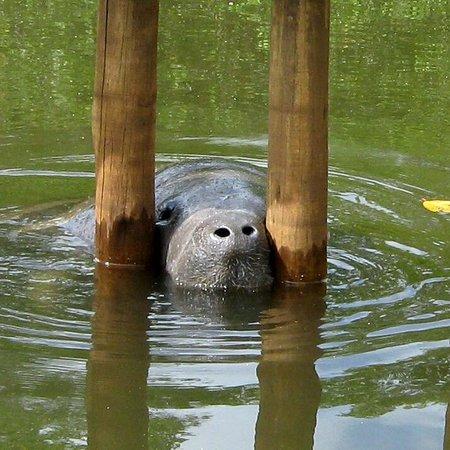 Associacao Peixe-Boi: Nesse local eles se adaptam ao meio ambiente.