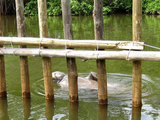 Associacao Peixe-Boi: Após a soltura, alguns permanecem no rio Tatuamunha