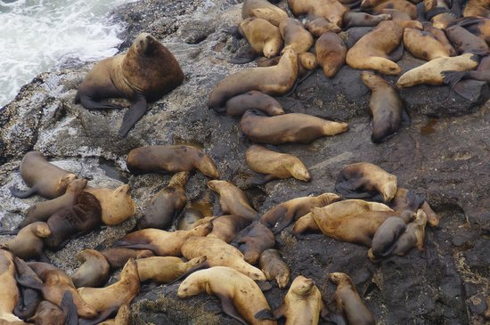 Sea Lion Caves: Sea lions outside the cave
