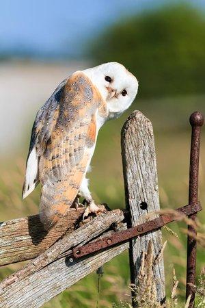 The Barn Owl Centre : Barn Owl