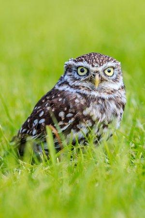 The Barn Owl Centre : Small Owl, long grass