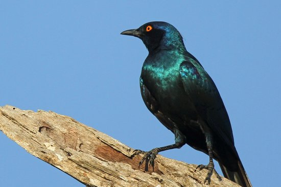 Lion Sands River Lodge : Greater Blue Eared Starling