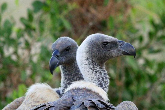 Lion Sands River Lodge: A white backed vulture couple
