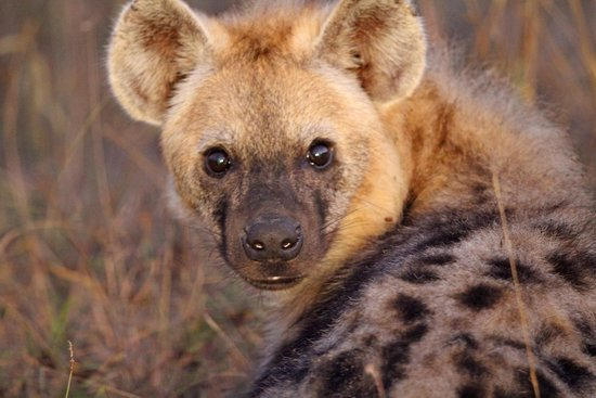 Lion Sands River Lodge: Spotted Hyena