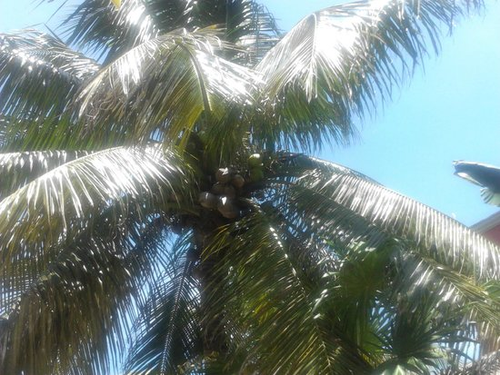 Villa Dolce Vita - Soliman Bay : Coconut tree outside our room