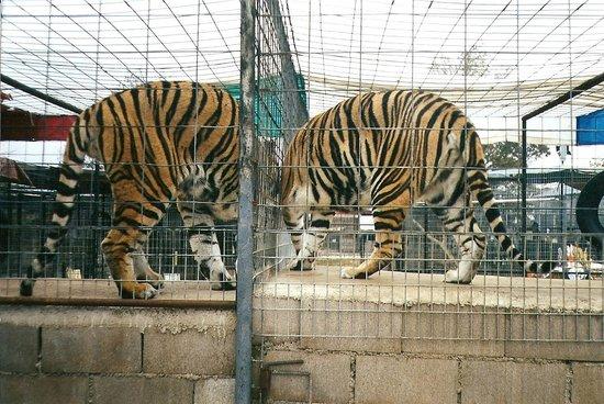 "Turpentine Creek Wildlife Refuge: ""Twin tigers"", taken October of 2000."