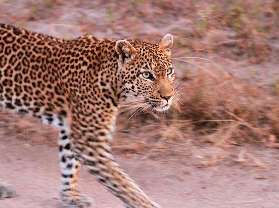 Lion Sands River Lodge: Roller Coaster female leopard