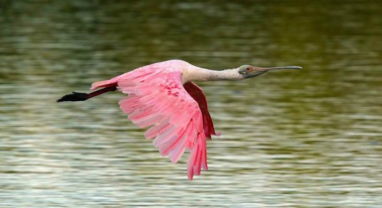 "J.N. ""Ding"" Darling National Wildlife Refuge: Roseate Spoonbill in flight"