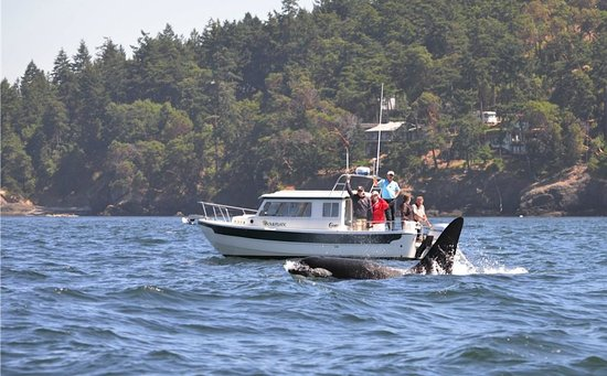 Eagle Wing Whale Watching Tours: orcas in Victoria, BC