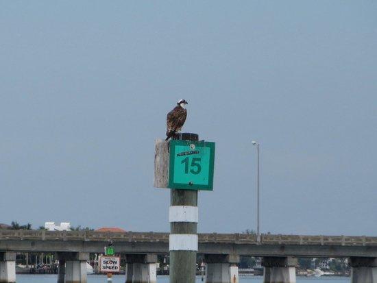 Sarasota Bay Explorers: Osprey