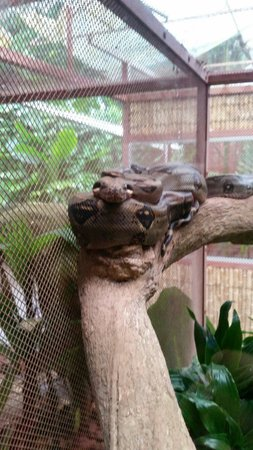 Fundación Jaguar Rescue Center: Boa constrictor