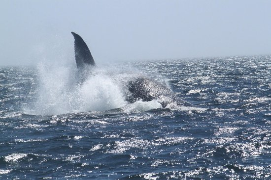 Eagle Wing Whale Watching Tours: Spending quality time with the Humpback mom and little one - #1