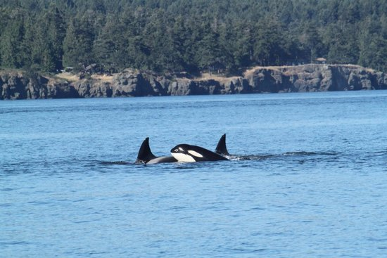 Eagle Wing Whale Watching Tours: Spent an hour with 6 Orcas - wow