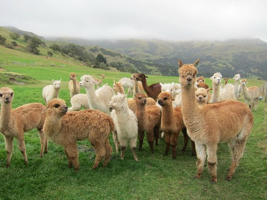Alpaca herd picture of shamarra alpaca farm tours for Alpaca view farm cuisine bangkok