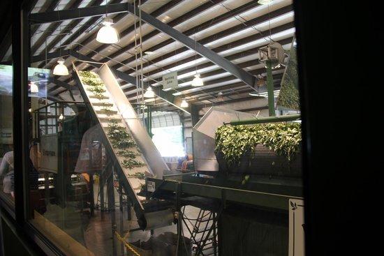 Charleston Tea Plantation: Processing plant