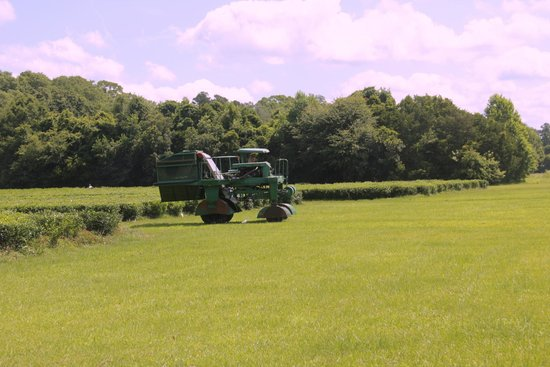 Charleston Tea Plantation: On the farm