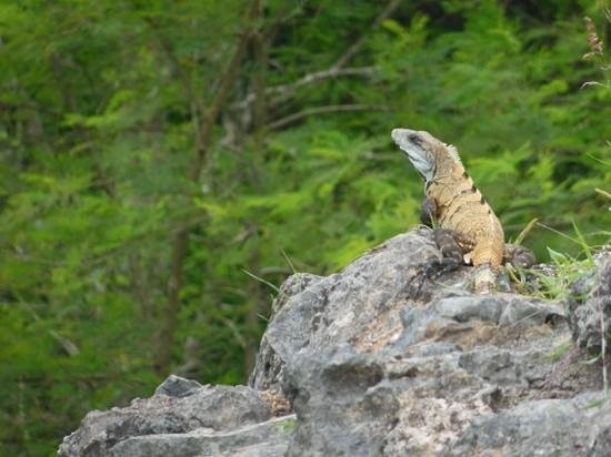 Ek Balam Mayan Ruins : lézard