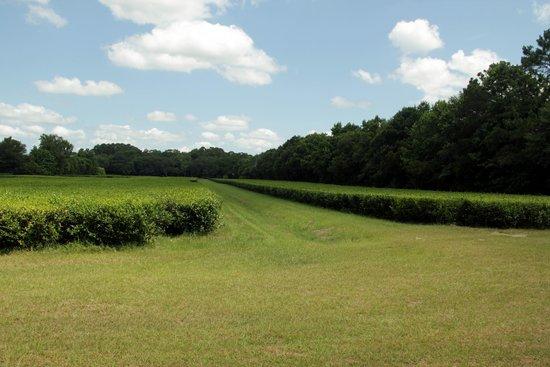 Charleston Tea Plantation: Tea fields