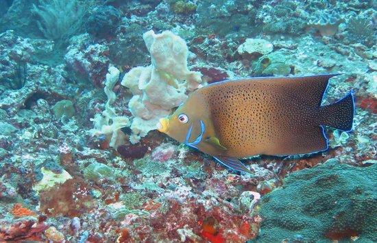 Bali Breizh Divers: poisson ange
