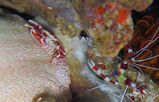 Bali Breizh Divers: crabe porcelaine et crevette