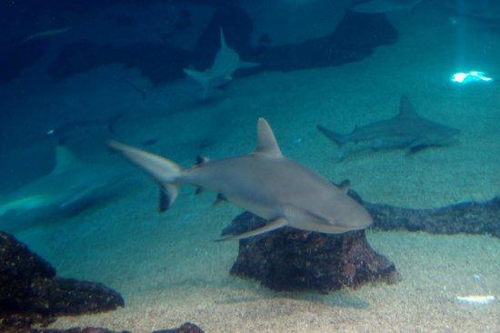 Maui Ocean Center: Menacing sharks