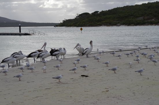 Pelicans at Emu Point