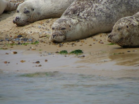 Beans Boat Trips: Grey seals
