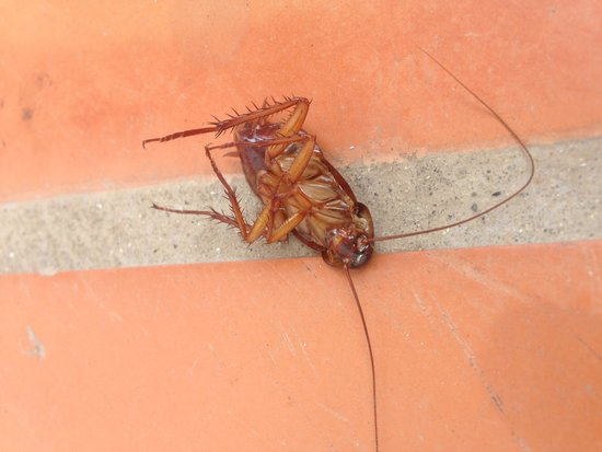 Ponderosa Apart Hotel: 2nd cockroach