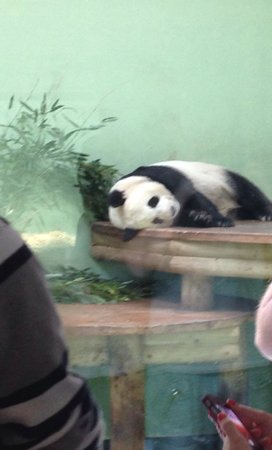 Edinburgh Zoo: Tian tian having a nap