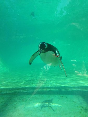 Edinburgh Zoo: Penguins keeping cool in their pool
