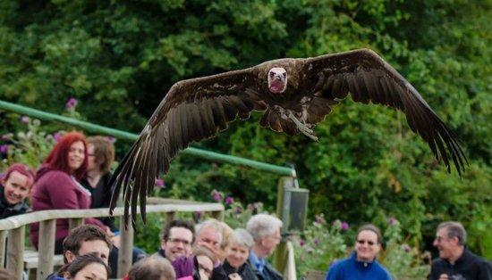 Hawk Conservancy Trust : Duck! (No a vulture)
