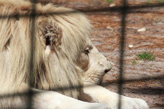 Zoo Bassin D'Arcachon : vieux lion