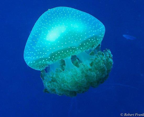 Jellyfish fotograf a de jardines de la reina cuba for Como llegar a jardines de la reina cuba